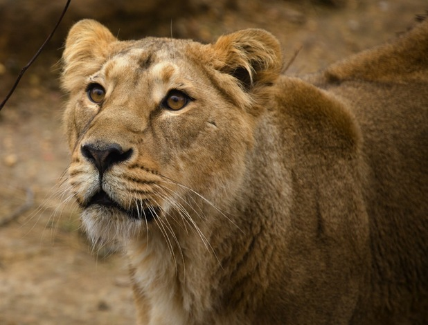 Heidi the lion will be sleeping right next to guests at Gir Lion Lodge