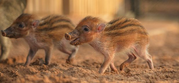 Rare warty twin piglets have been born at Chester Zoo