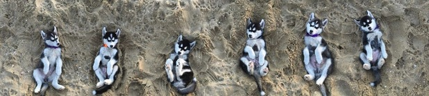 These six husky puppies are loving the sunshine