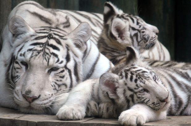 Four month old tiger cubs with their mum