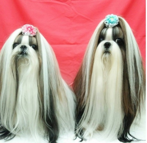 Yuu and Nao the Shih Tzu twins from Japan pose with bows in their hair